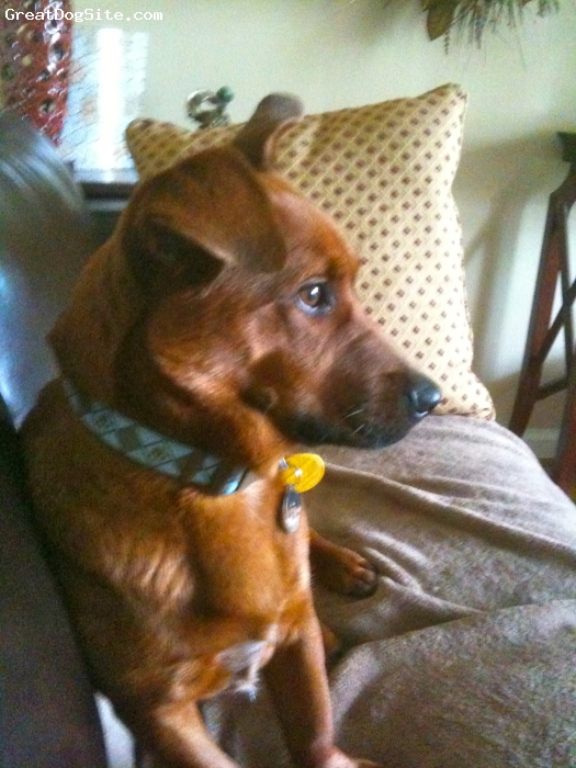Dorgi, 2 1/2, Red, Cardigan welch corgi and dachshund mix.  Loves other dogs and is super sweet!
