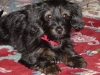 Dorkie, 10 months, black with tan markings