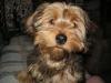 Dorkie, 1 year, Brown & black