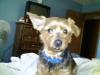 Dorkie, 5 years, black, tan, copper, grey