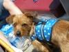 Dorkie, 1 1/2 years old, Brown