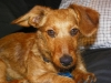 Dorkie, 1, Red with tinges or black and white