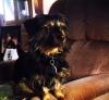 Dorkie, 1 year, Black and Red