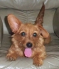 Dorkie, 3, red