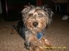 Dorkie, 9 months, Tan and Black