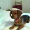 Dorkie, 3 years, Red & brown