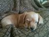 Dorkie, 10 weeks, Tan