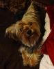 Dorkie, 1 year, Black/tan