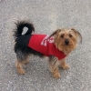 Dorkie, 5, Dark brown strawberry blond