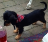 Dorkie, 1, black tan