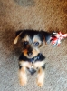 Dorkie, 4 Months, Black & Tan with a little Sliver