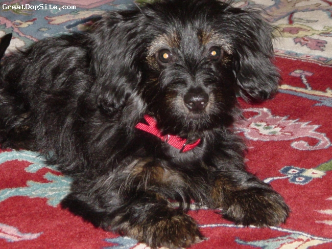 Dorkie, 10 months, black with tan markings, A wonderful companion, likes to travel,  go on walks,  play in the water hose.  Just an easy little dog to have around,  she is about 10 lbs,  doesn't shed at all.