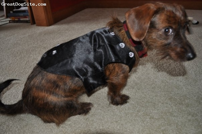 Dorkie, 18 Months, Brown, Parker the little dog