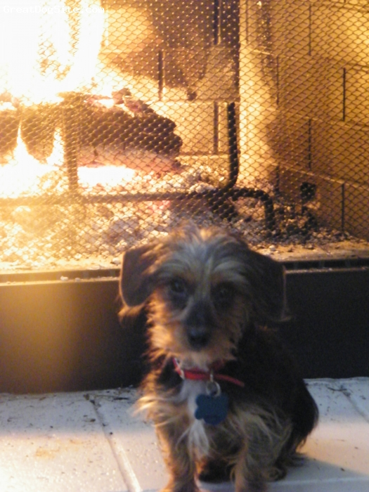 Dorkie, 9 months, Black, tan & silver, The cutest boy, is being stubborn lately w/ going to his kennel when I need to go to work in the morning, the little pain in the a$$.  Working on it :)