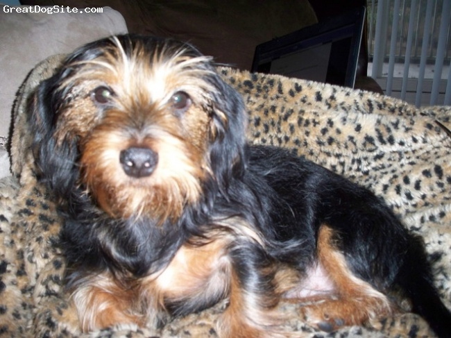 ... 1yr old, black/tan, Dorkie - dachshund yorkie mix | GreatDogSite.com