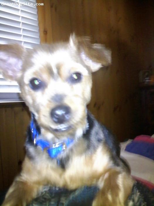 Dorkie, 5 years, black, tan, copper, grey, Smokey again