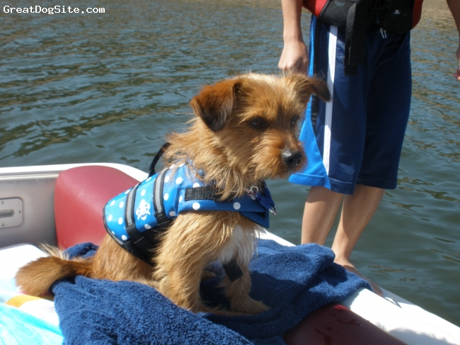 Dorkie, 1 1/2 years old, Brown/ Tan, We took Evo for boating and he enjoy it