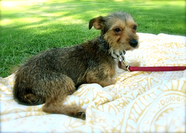 """Dorkie, 1 year, Wire Haired Dorkie/Mix, This Dorkie is a lap dog for sure!  She LOVES to sit in your lap, and would do it all day if she were allowed.  I found what was written in the """"character"""" section on Dorkies on this website to be very true.  Bailey sleeps over 18 hours a day.  If we're not engaging her, walking her, or letting her play with a rawhide, she'll curl up by our feet or in her bed, if we don't allow her to sit on the couch with us.   She was a picky eater at first, but she like """"Taste of the Wild"""" brand.  She doesn't really fetch, or play with toys on her own and rarely carries things in her mouth (except a rawhide or treat that she'll take back to her bed).  She's a bit scared of traffic when she gets too close and skateboarders/shopping carts/bicycles.  But we're working with her on that.  She IS attached to ONE person in the family more than others...but she's great with everyone.  She is sweet and affectionate and a great dog for condo/apartment living.  She has never ever barked!  She'll only wine a bit when we leave, or in the morning when she wants to come into the bedroom.  She was totally house trained when we got her at 1 year old.   We love our little Dorke, she's a great first dog for someone who's never had a dog before bc she's SO laidback.  The only I wish was that she'd retrieve or like to play with balls or tug of war, but she doesn't really yet.  Bailey is probably a bit more submissive than most Dorkies, she probably went thru some trama before arriving at the LA City Shelter--she was found on the streets.  When we got her, she was REALLY shy, but she's come out of her shell since we've socialized her."""