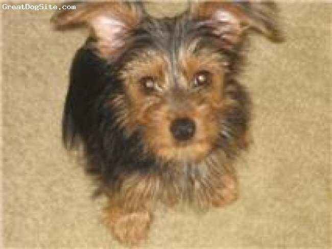 Dorkie, 3 mos, Black/Rust, Scrappy is my new baby & he knows it! Lovin this lil guy!