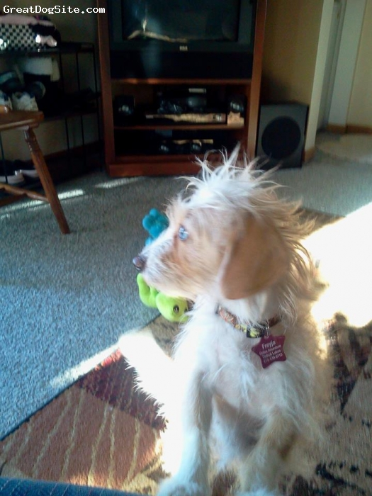 Dorkie, 1 1/2, Dapple, Adopted through 4luvofdogs after the Wheatland, ND puppymill rescue of 170 dogs with her being one of the pregnant mothers when she was less than a year old!