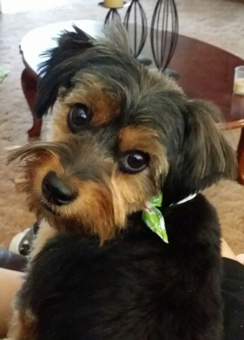 Dorkie, 1 yr 5months, Black and Tan, She is a very lovable, and a very quick learner.