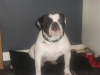 Dorset Olde Tyme Bulldogge, 1, black and white