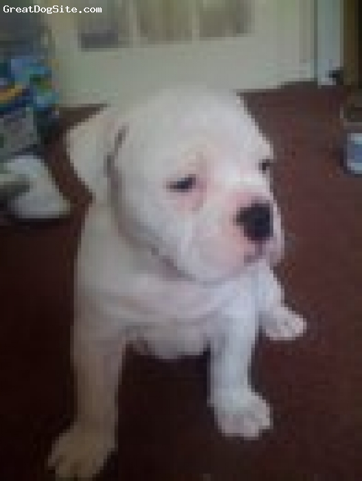 Dorset Olde Tyme Bulldogge, 7 months, white, kyla is a very active dog and constantly looking for attention she is like a child if she feels she needs more attention then she misbehaves but in general she is adorable and very loving