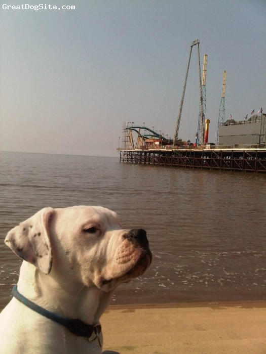 Dorset Olde Tyme Bulldogge, 8 MONTHS, WHITE, MOLLYDOG WHEN SHE WAS ABOUT 6 MONTHS OLD