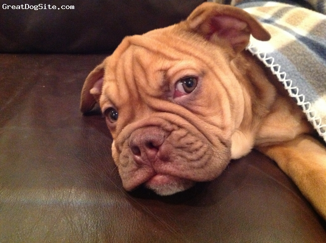 Dorset Olde Tyme Bulldogge, 17 weeks, Red, Snores really loud and has loads of wrinkles!!!