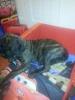 Doubull-Mastiff, 14 weeks, brindle