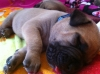 Doubull-Mastiff, 2 Weeks today, tan with black mask
