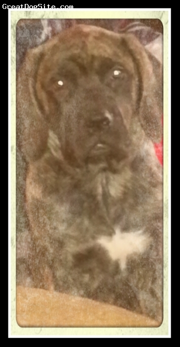 Doubull-Mastiff, 18 weeks, brindle, Brindle doubull mastiff
