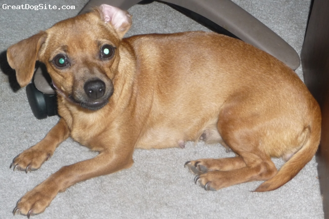 Doxie-Pin, 2 years old, Red Sable, Beli's momma