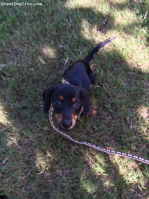 Doxie-Pin, 3 mo, Black/tan, Smart, snuggly little pup!
