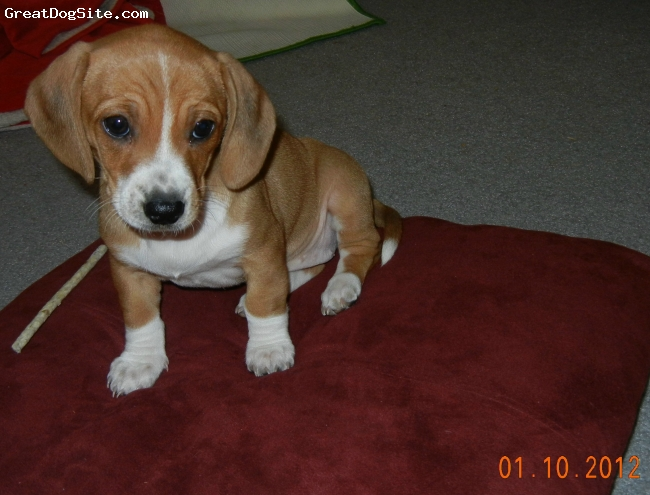 Doxle, 8 weeks, tan and white, I uploaded a pic of 9 Doxle pups on an orange blanket......at 10 days old...this is the 3rd from the right..the one with the white mark on her neck....at 8 weeks old.