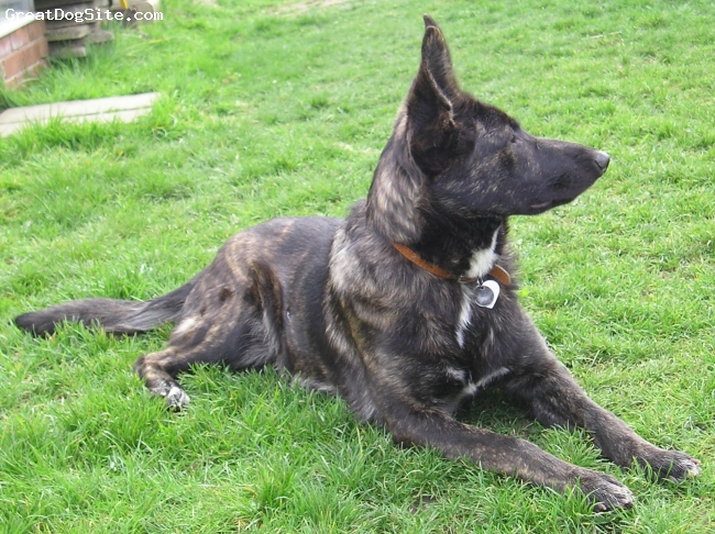 Dutch Shepherd, 9 months, brindle, Is there anymore in the uk???