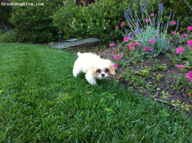 Eng-A-Poo, 1, Blenheim, As a puppy - 4 months of age.
