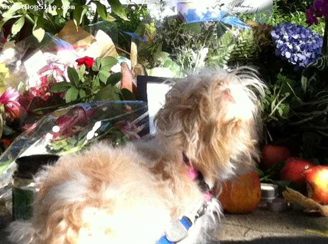 Eng-A-Poo, 2, Apricot White, Poppy honoring Jobs' and viewing the notes people left for him.