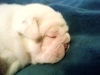 English Bulldog, 15 Days Old, Red Brindle and White
