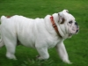 English Bulldog, 1 year and 11 months, White and red