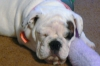 English Bulldog, 14 weeks, white with brindle markings