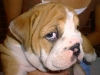 English Bulldog, 8 weeks, Fawn