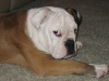 English Bulldog, 1.5, Brown and White