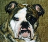 English Bulldog, 8 years, Red Brindle
