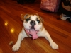 English Bulldog, 1 1/2, light brown