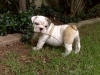 English Bulldog, 9 weeks, white fawn