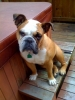 English Bulldog, 2, Fawn