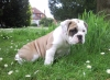 English Bulldog, 8 weeks, white / fawn
