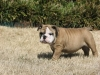 English Bulldog, 4 months, fawn and white