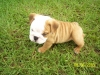 English Bulldog, 13 Weekes, Fawn and White